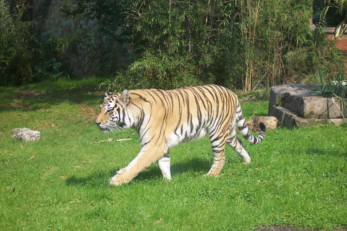 Endangered Species Of Cats Habitats & Prey