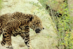 jaguar-316564