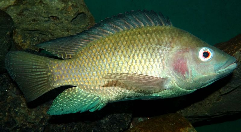Aquaculture –  Fish Farming of Tilapia at Home