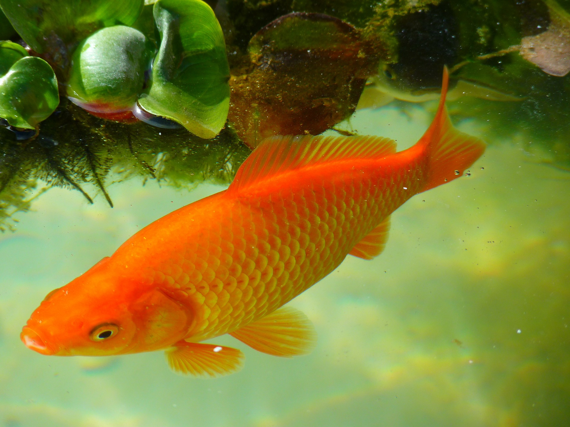 Ikan Koi Foto