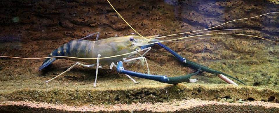 Freshwater Shrimp Farming – How to Start Your Own Shrimp Farm