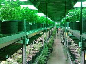 marijuana-269851_1280