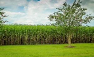 sugarcane-439880_1280
