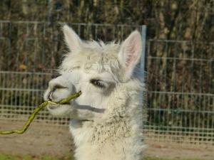 alpaca-71860_1280