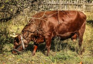cows-201996_1280