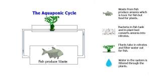 aquaponic cycle