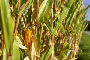 cornfield-543101_1280