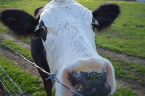 cow-722843_1280