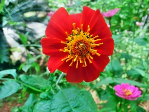 mexican-sunflower-514801_1280