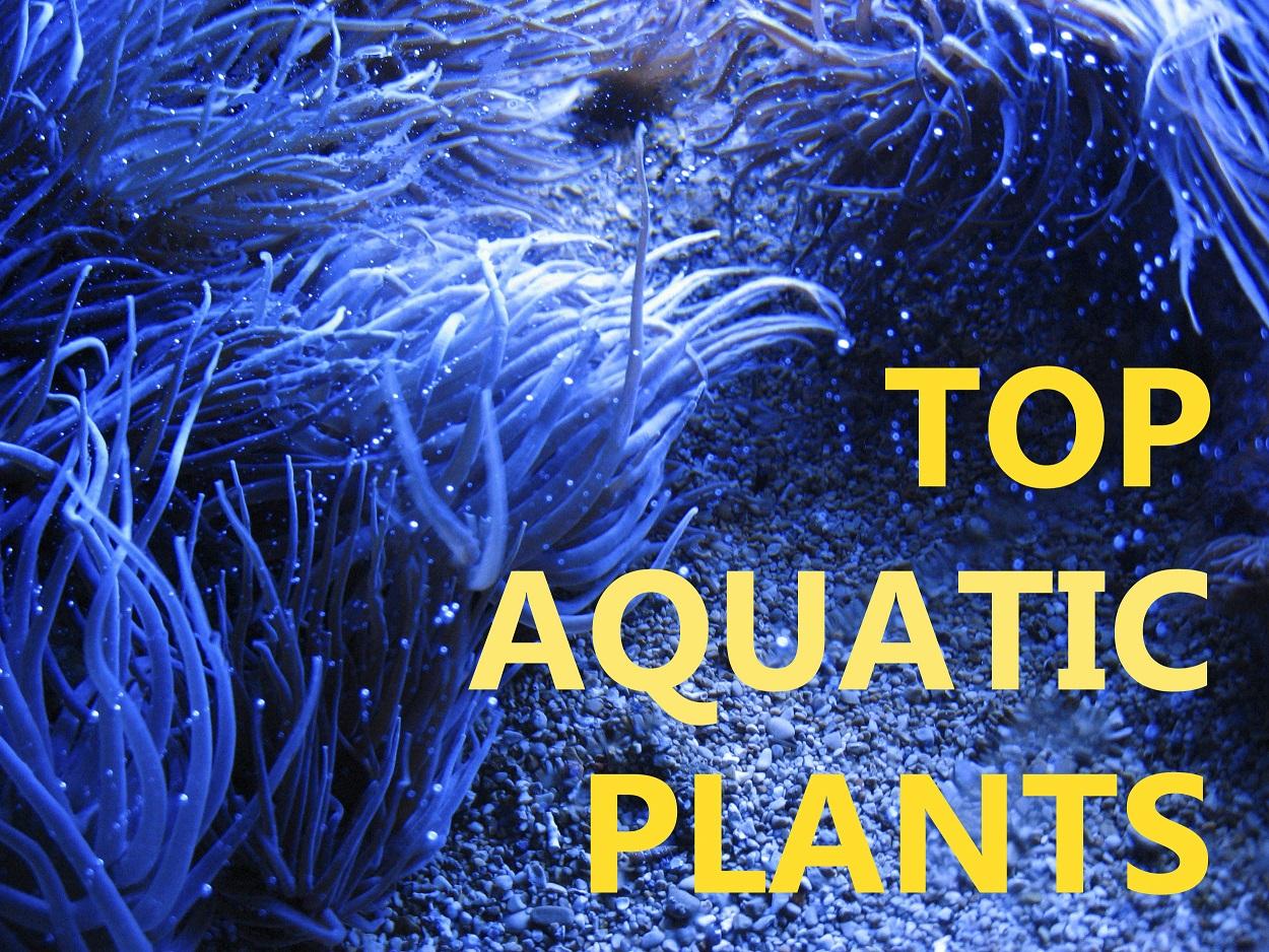 Top 5 aquatic plants for your fish tank or aquarium for Best aquatic plants