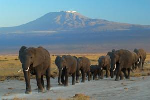 """""""Elephants at Amboseli national park against Mount Kilimanjaro"""" by Amoghavarsha amoghavarsha.com - Own work. Licensed under CC BY-SA 3.0 via Wikimedia Commons."""