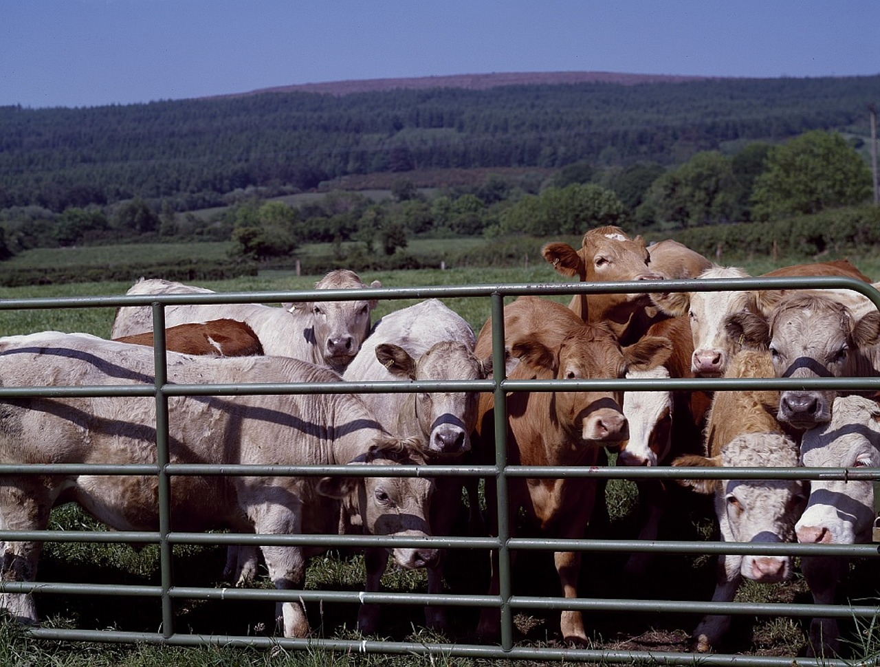 3 Surprising Things Cows are Fed That You Didn't Know