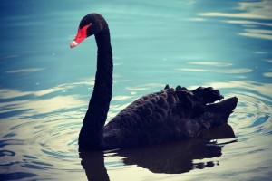 swan-782793_1280(1)