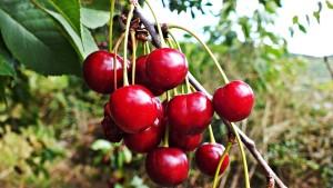 cherries-868089_1280