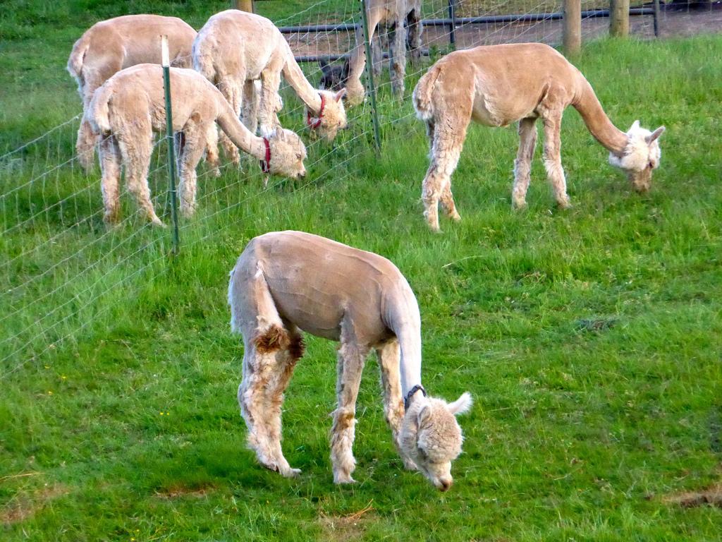 Alpaca business plan