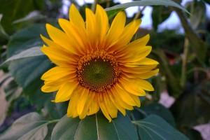 sun-flower-909001_1280